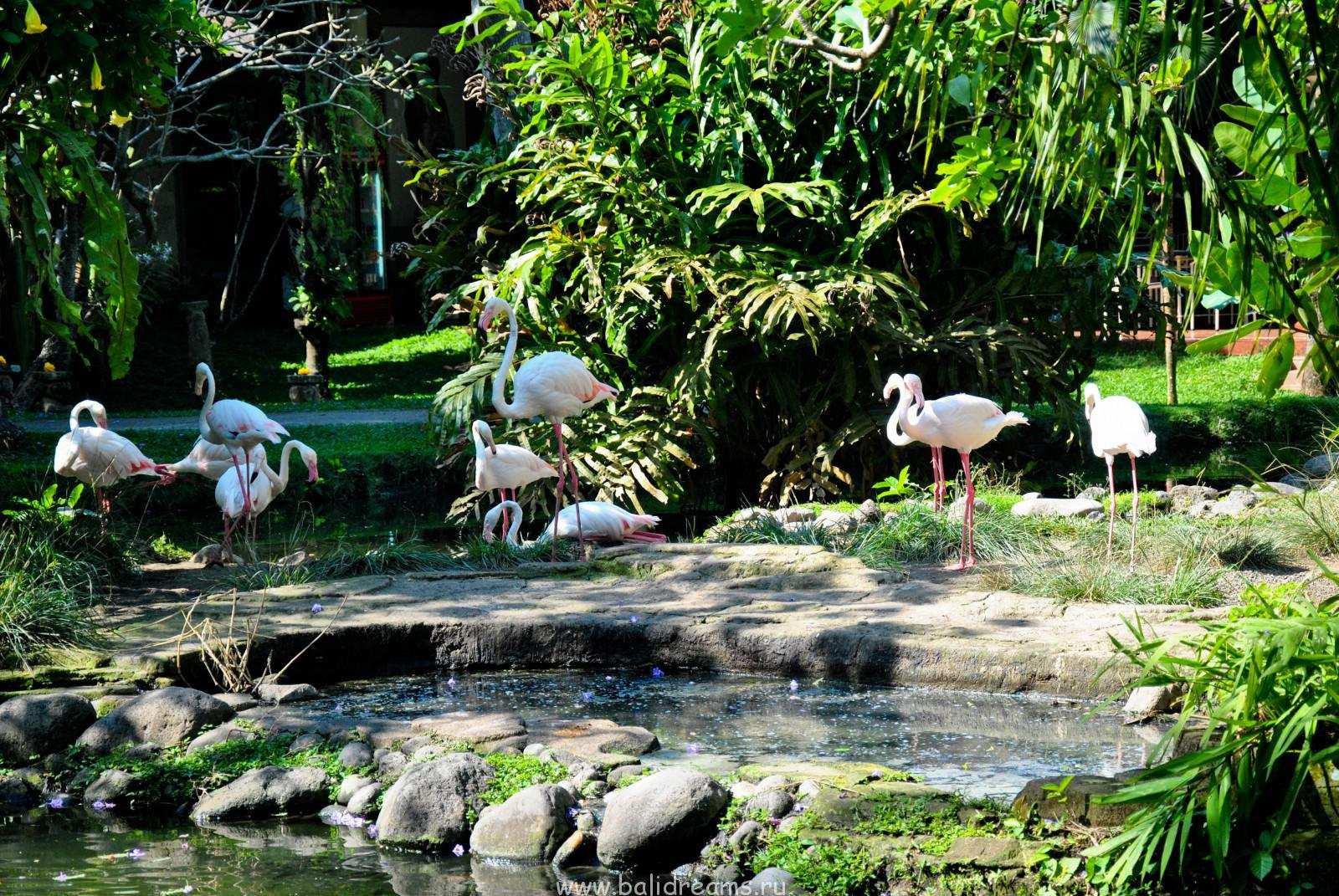 Фламинго в парке Bali Bird Park