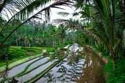 Рисовые поля. Убуд о. Бали