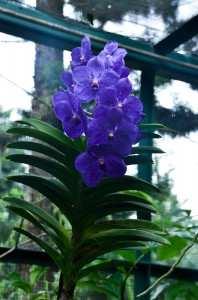 Орхидеи в национальном парке Сингапура