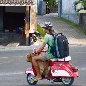 Перевозка собак, движение на Бали. С другом на Байке.