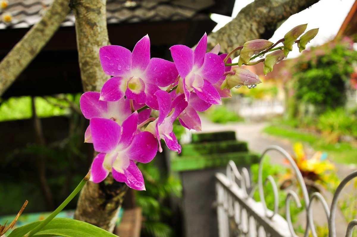 Орхидея в саду. Бали