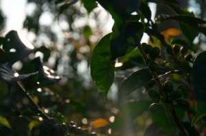 Кофейные плантации острова Ява