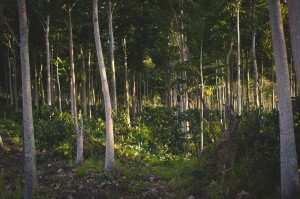 Леса на острове Ява