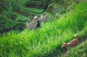 Балиец среди рисовых террас. Убуд, Бали