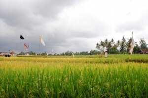 Рисовые поля, Убуд