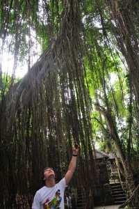 Дерево Баньян, Убуд