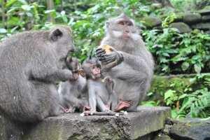 Семейство обезьян. Monkey forest. Убуд, Балис