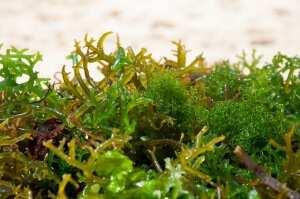 Натуральные водоросли в Индонезии