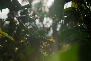 Кофейные плантации на Яве. Подножие вулкана Иджен