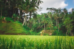 Как растет рис на Бали